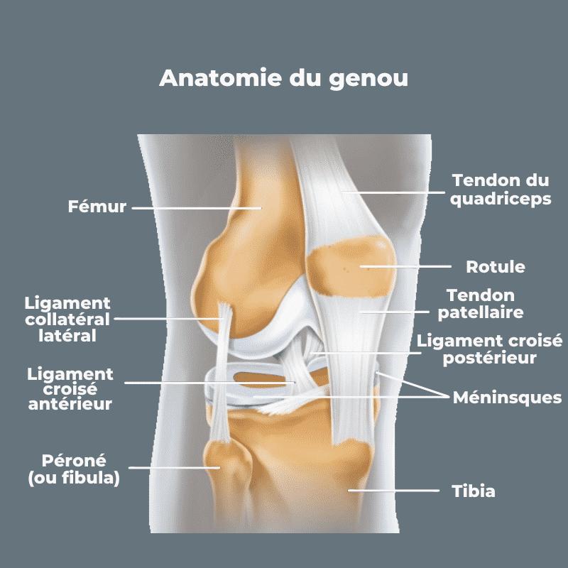 articulations genoux